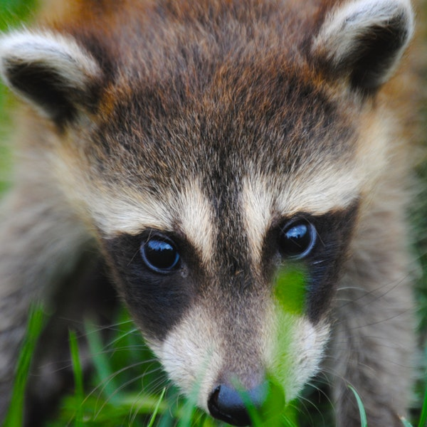 woodland critter, raccoon